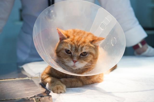 猫 エリザベスカラー